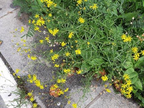 Gelbe Blumen am Wegesrand